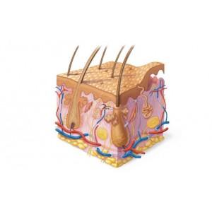 Короткие пептиды: регуляция функций кожи при старении